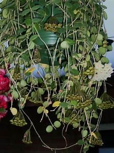 Zimmerpflanze Große Blätter : nachts bel riechende bl hpflanze k rbchenbildung ~ Lizthompson.info Haus und Dekorationen