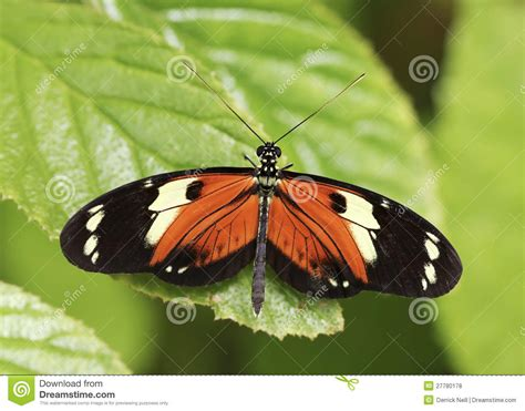 An Orange And Black Rain Forest Butterfly Royalty Free