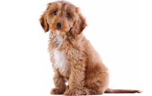 Do Mini Cockapoos Shed by Cockapoo Dog Breed Information Pictures Characteristics