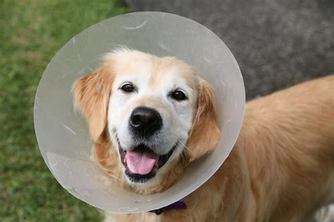 dog neutered general dog health care dogs