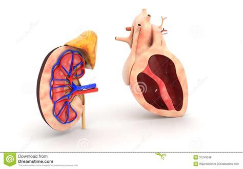human heart  kidney stock illustration illustration