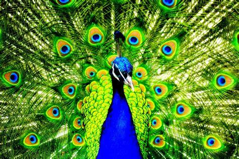 peacock colors unique wallpapers custom wallpapers desktop wallpaper