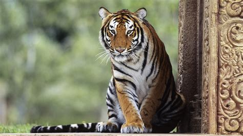 Hd Wallpapers Animals Tigers - hd tigers wallpapers and photos hd animals wallpapers