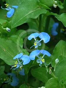 Commelina communis   Asiatic Day Flower information & photos