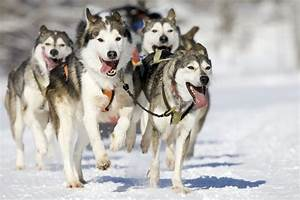 Types of Husky Dogs | Cuteness