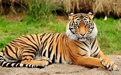 Tiger - Facts about Tiger | Passnownow