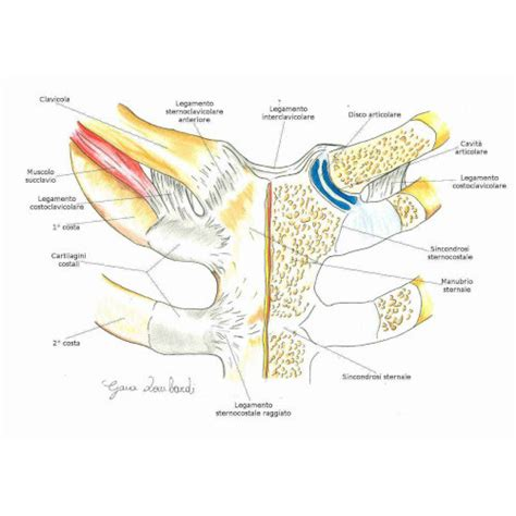 gabbia toracica anatomia la gabbia toracica anatomia da quali strutture 232 costituita
