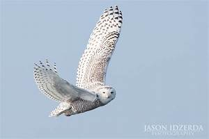 Snowy Owl in Flight | An owl makes flying look effortless ...