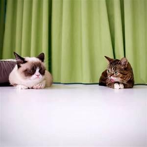 Grumpy cat meets Lil Bub (pic + video) | Amazing Creatures