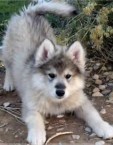 Wolamute (Alaskan Malamute-Timber Wolf Hybrid) Info ...