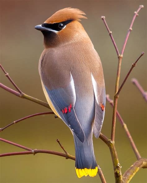 Cedar Waxwing Facts, Habitat, Diet, Life Cycle, Baby, Pictures