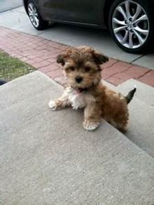 Cute Dogs That Stay Small Forever Pictures - Litle Pups
