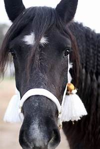 Horse Head Front | Raven Phyre (Black Percheron Morgan ...