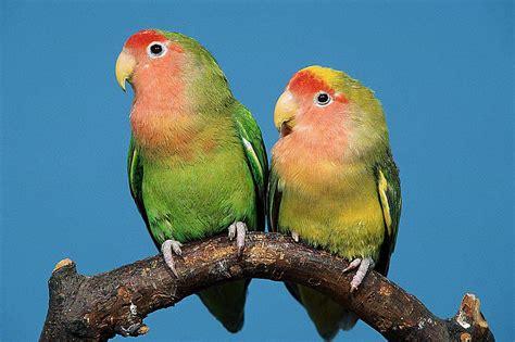 facts  lovebirds