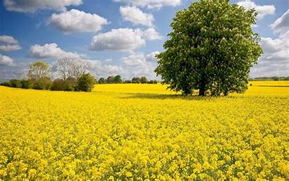 Mustard Blumen Tanaman Bunga Pertanian Rumput Kuning