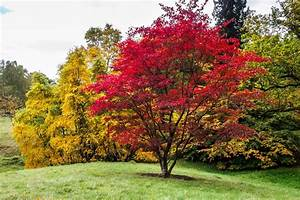 Japanese Maples: How to Plant, Care and Prune | Garden Design  Maple