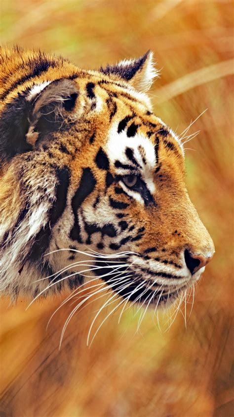 animals wallpapers tiger hd wallpaper  supportive guru