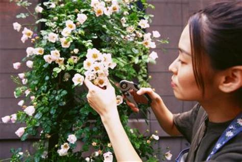 how to trim roses in summer how to trim a rose bush in summer home guides sf gate