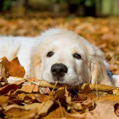 Retriever Golden Spring Wallpapers Puppies Puppy Backgrounds