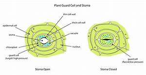 Onion Cell Diagram Epidermal Labeled Skin  U2013 Oasissolutions Co