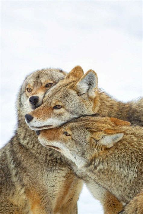 Coyote Fox images  wolves fox coyote  pinterest 500 x 750 · jpeg