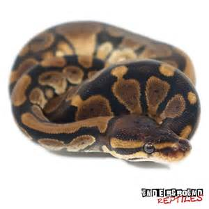 Ball Python Bedding by Baby Ball Pythons For Sale Underground Reptiles