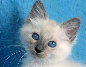 Blue point Siamese | Nature | Pinterest