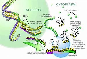 Nnhsbiology    Transcription Translation