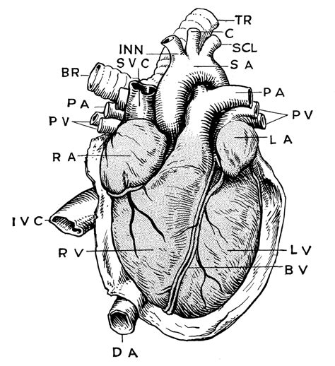 anatomy  heart clipart
