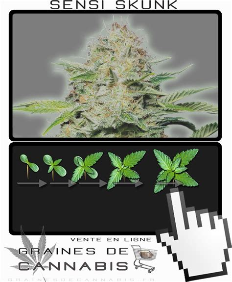 chambre de pousse cannabis graines de cannabis à autofloraison