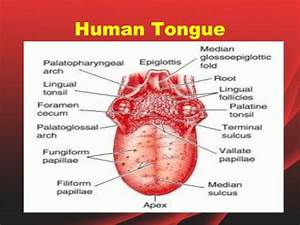 The human tongue