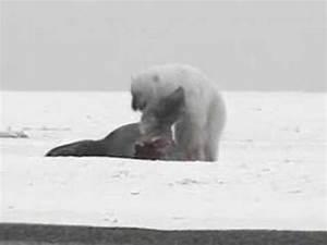 Walrus vs Polar Bear vs Bear - YouTube