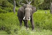 Asian elephant - Wikipedia