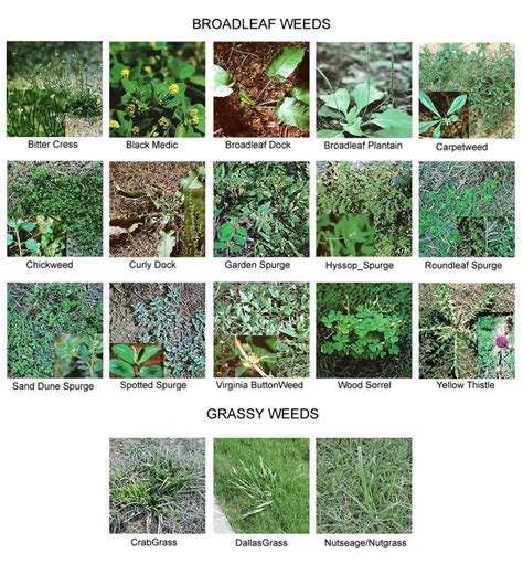 how to identify garden weeds 135 best images about weed identification on pinterest gardens perennials and weed