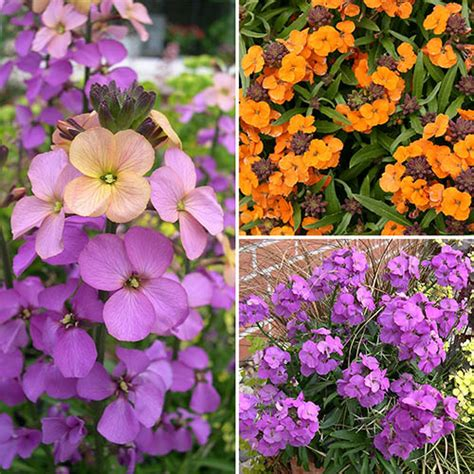 wallflower perennial collection hardy yougarden