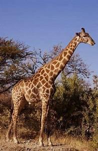 ¿Cómo consiguen las jirafas que les llegue la sangre al ...
