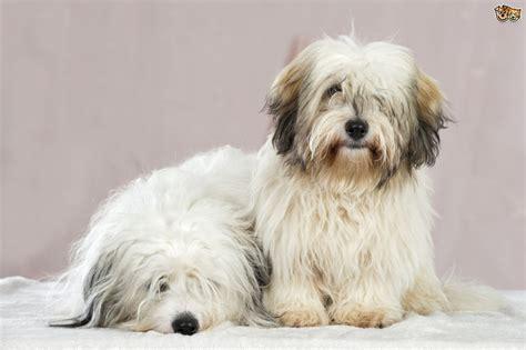 non shedding dog breeds for sale dog breeds picture