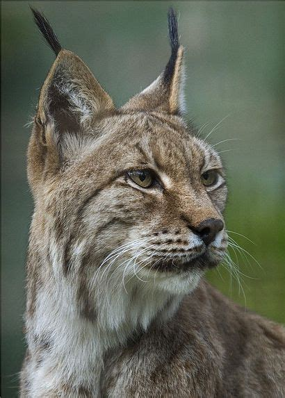 continuity iberians lynx meet iberian language endangered species