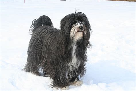 tibetan terriers do they shed the tibetan terrier academic hound