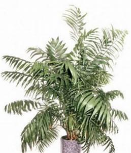 Palmen Für Drinnen : zwei tolle palmen f r drinnen im set die bergpalme und ~ Michelbontemps.com Haus und Dekorationen