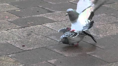 Pigeon Sex In Hd Youtube