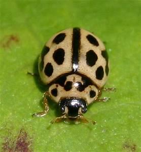 16 Spot Ladybird Naturespot
