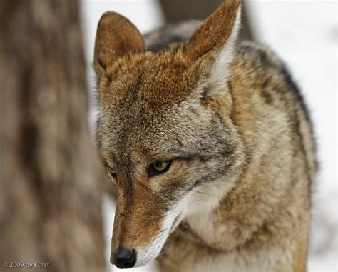sad thoughts showing picture coyote sad thoughts