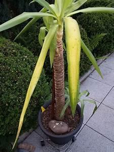 Palme Gelbe Blätter : yucca bekommt gelbe bl tter seite 1 yucca agaven ~ Lizthompson.info Haus und Dekorationen