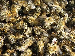 Пчелиный подмор для лечения гипертонии