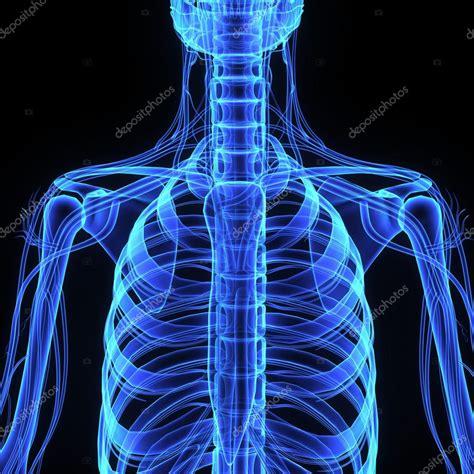 Anatomia Gabbia Toracica - gabbia toracica umana anatomia foto stock 169 sciencepics