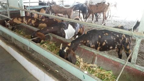 Farmyard Nurseries by Ajaputra Livestock Amp Farms Commercial Goat Farming
