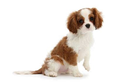 rs for dogs king charles spaniel puppies for adoption bazar