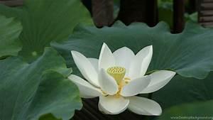 White Lotus Flower Wallpapers 02  Lotus Flower Pictures
