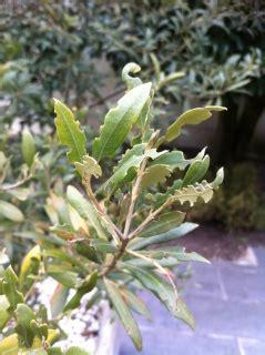 olivier malade victime de bestioles au jardin forum de jardinage